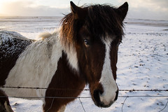 Viking_Horse (5) (Melissa Boodoo) Tags: horse viking traveling travel iceland snow ice fire volcano explore create shoot2kill icelandtravel neverstopexploring nature animals animal fur sunny sun morning early roadtrip roadstop natural life europe winter north northernlights chasing