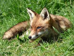 Fox (Peanut1371) Tags: fox mammal ears tail red nationalgeographicwildlife