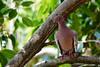 Pomba-Asa-Branca (Patagioenas picazuro) (Rod.T28) Tags: riodejaneiro nature sonya6300 sony70400mmg sal70400g ngc joá