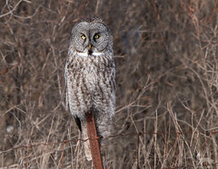 Great Gray Owl (NicoleW0000) Tags: great gray owl wild wildlife photography lifer