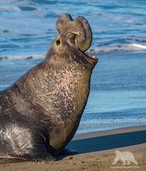 Elephant Seal Bull (fascinationwildlife) Tags: animal mammal elephant sea seal bull male beach coast winter wild wildlife nature natur california usa america san simeon seeelefant