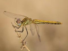 Sympetrum fonscolombii ♀ (fturmog) Tags: fauna odonats odonátos odonata libélulas libèl·lules dragonflies montoliudelleida