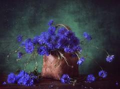 ... (Nataly C) Tags: stilllife cornflowers flowers summer