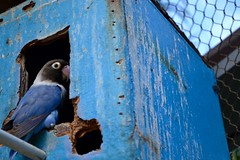 Blue on Blue (fungusflower) Tags: bird birdhouse blue zoo fence old budgie afternoon hawaii november colours colourful bright holes eyes feathers soft light outdoors art animal america nikon d3100