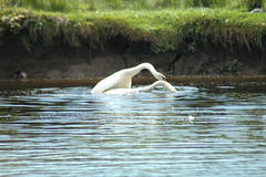 A We bit of Hanky Panky going on in the river Teith in Callander yesterday (tormentor4555) Tags: river swans mute callander teith