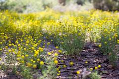 (0pton) Tags: macro grass desert bokeh dry soil wildflowers sonoran parched