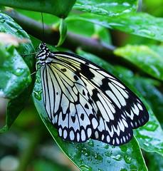DSC04058 - On Explore (Fotofreaky2013) Tags: holland netherlands butterfly garden utrecht nederland explore botanic tuin vlinder botanische explored botanischetuinutrecht vlinderfestival