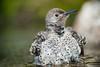 Juvenile Flicker (Martin Dollenkamp) Tags: nature water birds woodpecker britishcolumbia vancouverisland juvenile flicker colaptesauratus northernredshaftedflicker