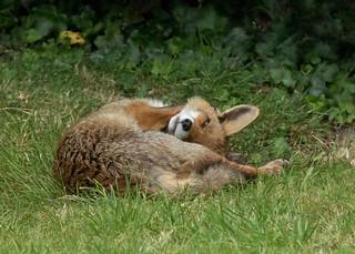 Relaxed garden fox