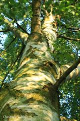 B - Birch (ChristineGibbs, trying to keep up!) Tags: b trees green canon eos pov az birch silverbirch eos7 canon1855usm azproject