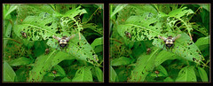 Laphria Thoracica, Bee-like Robber Fly 1 - Cross-eye 3D (DarkOnus) Tags: macro closeup insect lumix fly stereogram 3d crosseye day pennsylvania bee bumblebee stereo friday stereography mimic buckscounty robber diptera fdf crossview beelike thoracica laphria hfdf flydayfriday dmcfz35