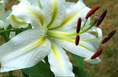 Cherborough White Oriental Lily (sh10453) Tags: usa michigan oakpark
