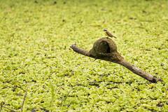 Nido nafrago (Danielopez24) Tags: pictures verde green bird nature animals lago nest selva bolivia photograph ave nido rama pjaro naturephotography rurrenabaque madidi pitangus sulphuratus benteveo