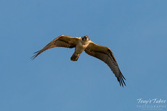 Young Osprey performs a flyby