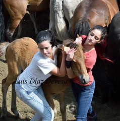 Rapa das bestas de Sabucedo 2015 (Luis Diaz Devesa) Tags: espaa horse caballo spain europa galicia galiza pontevedra rapa salvajes sabucedo rapadasbestas luisdiazdevesa baixadadoscabalos