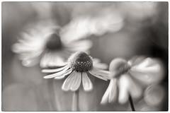 Bokeh explosion (stejo) Tags: flower bokeh blomma pentacon lännersta ilobsterit