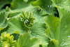 nortorf-112.jpg (ingo_carow) Tags: waterdrops wassertropfen frauenmantel ladysmantle nortorf