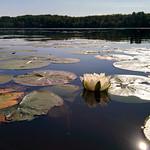White Water Lily thumbnail