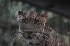 Amur Leopard at Yokohama Zoorasia 2015-08-01 (kuromimi64) Tags: japan cat zoo feline leopard yokohama kanagawa  amurleopard   zoorasia      yokohamazoologicalgardens