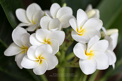 Plumeria in Bloom (PIERRE LECLERC PHOTO) Tags: white flower tree floral beauty hawaii plumeria maui lei explore smell tropical frangipani bunch bouquet pure odour