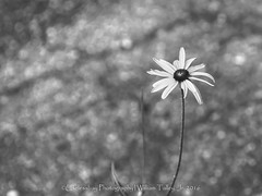 Driveway Flower 004 copy-Edit (uselessbay) Tags: 2016 nikon rhodeisland uselessbayphotography williamtalley d700 digital floraandfauna flowers stilllife uselessbay yellow