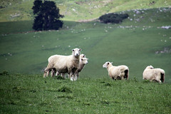 Forefront (baalands) Tags: new south island sheep farm zealand romney stud ewe lambs ewes grass