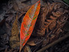 Still bright_c (gnarlydog) Tags: kodakanastigmat63mmf27 leaves decay red fineart manualfocus adaptedlens texture detail closeup forest colorful australia ferns lowkey