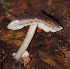 2016_11_0445 (petermit2) Tags: mushroom fungus fungi toadstool pottericcarr potteric doncaster southyorkshire yorkshirewildlifetrust wildlifetrust ywt autumn