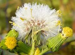 Taraxacum (zeffcaldera1) Tags: taraxacum gocce flower