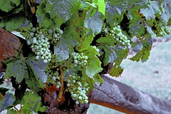 Grapes Vine! (maginoz1) Tags: abstract art manipulate contemporary hues flowers flora summer january 2017 bulla melbourne victoria australia canon d100 g3x grapes grapevine