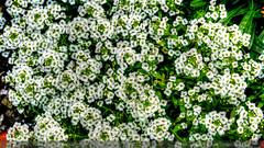 Alyssum (Julies Camera) Tags: daisies wenderholmpark beach sparrow shastadaisy rose wallflower aucklandharbourbridge magnoliaflower alyssum fruitsalandplant reddahlia dahlia heron bourgainvilia flaxpods agapanthus yacht harmonie opuamarina fern newzealand northland opua