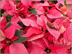 Pink Poinsettia Plants .. (** Janets Photos **) Tags: uk plants flora flowers red pink christmasplants poinsettia