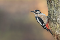 Greater Spotted Woodpecker (boogie1670) Tags: canon7dmarkii canon sigma 150600mm sports lens woodpecker greater spotted wildlife woodland wild outdoors britishbirds yorkshire wildlifebritish ngc ngg