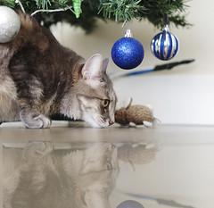 354/365 (Ell@neese) Tags: cat sweet christmas photography pet kitten eyes 365 50mm pentax kr 14 xmas tree reflection