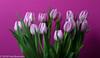 "Last photo of 2016 ! ""Real Dutch Pink Tulips"" (A.J. Boonstra) Tags: tulpen tulp tulips tulip pinktulips ef100mmf28lmacroisusm canon70d canoneos canon falconeyesskk2150d westcottsilverumbrella jinbeiwhiteumbrella indoor closeup"