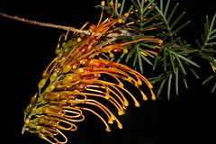 Grevillea tenuiloba (andreas lambrianides) Tags: grevilleatenuilobaproteaceae australianflora australiannativeplants westernaustralia grevillea threatenedspecies