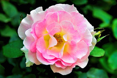Rose (chooyutshing) Tags: flower rose flowerdome gardensbythebay baysouth marinabay singapore