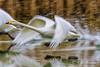 Whooper Swan / Wilde Zwaan (rob.bremer) Tags: water wildlife wildezwaan whooperswan watervogel winter waterbird duinen dunes duinlandschap castricum infiltratiegebied noordhollandsduinreservaat noordholland cygnuscygnus bird