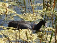 The Villages, FL, Marshland Trail, Black Duck Amidst Algae and Grasses (Mary Warren 11.6+ Million Views) Tags: thevillagesfl marshland trail nature flora plants fauna bird duck algae grasses green