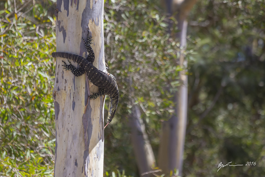 The World's Best Photos of goanna and lacemonitor - Flickr