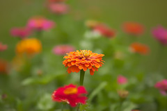 20140717_flowers-2_0016 (zoomclic) Tags: canon closeup colorful zinnia dreamy dof bokeh yellow orange outdoors green garden pink plant nature flower foliage flowers 5dmarkii ef200mmf28lusm zoomclicphotography