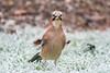Eurasian Jay     Eichelhäher (Natural Photography by CJH) Tags: jay eurasianjay crow eichelhäher bird vogel natural wildlife nature wild nikon d500 telephoto 300mm pf f4 300mmf4 300f4 nikkor pfedvr tc14eiii