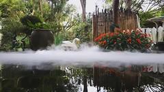 jinMOV_00011 水池,池塘,天鵝,紅色的花,倒影,金魚, (侯錦鳳) Tags: 水池 池塘 水面 煙霧 浪漫 水上 白色 天鵝 紅色的花 倒影 金魚 白天
