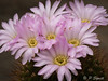 Acanthocalycium violaceum (Pol/S) Tags: cactus acanthocalyciumviolaceum succulent flower pink houseplant gardening