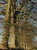 Eichen-Zeile in Dannewerk (48) (Chironius) Tags: schleswigholstein deutschland germany allemagne alemania germania германия szlezwigholsztyn niemcy schleswig eiche baum bäume tree trees arbre дерево árbol arbres деревья árboles albero quercus oak chêne дуб roble quercia rovere ek carvalho meşe eik árvore ağaç boom träd winter deutscheeiche quercusrobur stieleiche rosids fabids buchenartige fagales buchengewächse fagaceae grün landschaft borke rinde ladrido écorce corteccia schors кора hout bois holz wood legno madera