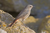 Black Redstart (drbut) Tags: blackredstart phoenicurusochruros chatsandthrushes turdidae nature songbird wildlife outdoor avian