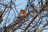 ROBIN-31-1-10-RAF-MILDENHALL (Benn P George Photography) Tags: rafmildenhall 31110 bennpgeorgephotography robin birds wildlife kc135r macdill 637997 mcconnell 571488 kc135t 600344 c17a charleston 923292 mcchord 900535 c5b dover 860017