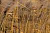 Breeze in the reeds / Un souffle dans les roseaux (pascal.echevest) Tags: nikon5300 nature natura natur naturaleza natureza composition winter hiver janvier january france iledefrance seineetmarne moissycramayel espacenatureldelamotte roseaux reeds