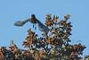 Steller's Jay 1 (jamintaylor) Tags: stellersjay birdinflight birdphotography jay bluebird wildlife alaska