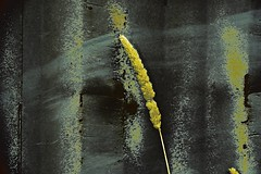 The Last Straw! (maginoz1) Tags: abstractart contemporary manipulate curves flora flower straw gumtree bulla melbourne victoria australia february 2017 canon g3x